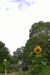 081916-sunflower-at-Old-Manse
