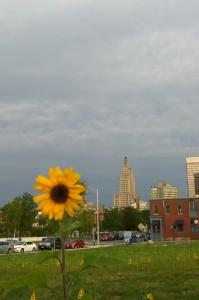 082916-finally-sunflowers