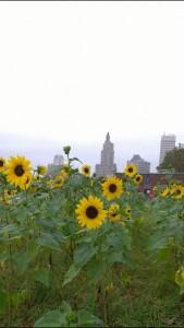 090716-sunflowers-growing