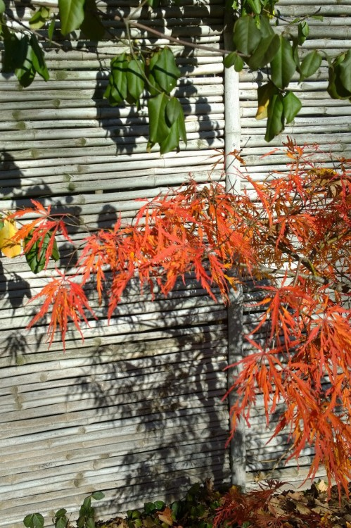 110416-colorful-japanese-maple