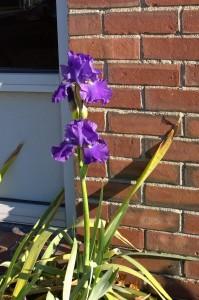 111816-iris-in-late-autumn-concordma