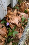 030217-vinca-rises-from-decay