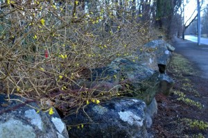 040717-forsythia-and-lichen