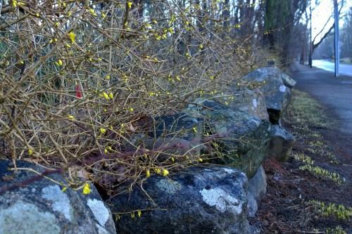 040717-forsythia-and-lichen