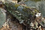 041217-woodland-lichen