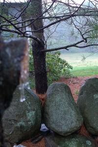 042617-tree-weeps-sap