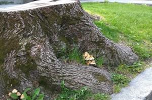 043017-mushrooms-on-stump