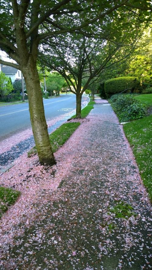 051617-carpet-of-petals-Providence