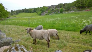 060217-sheep-in-Sweden