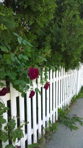 061117-deep-red-rose-white-picket-fence