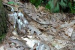 062917-Indian-Pipe-fungus-ConcordMA