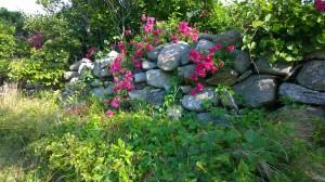 071317-Block-Island-roses-1