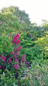 071317-Block-Island-roses-2