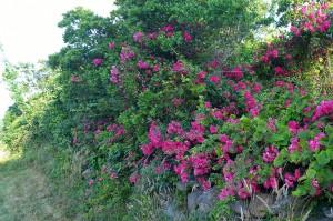 071317-Block-Island-roses-3