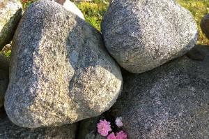 071317-Block-Island-roses-4