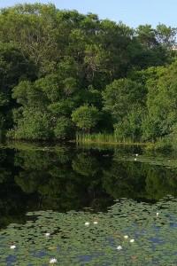 071317-Block-Island-water-lilies