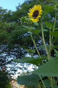 071717-joyful-sunflower-providence