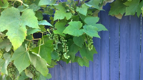 071917-there-will-be-grapes-2