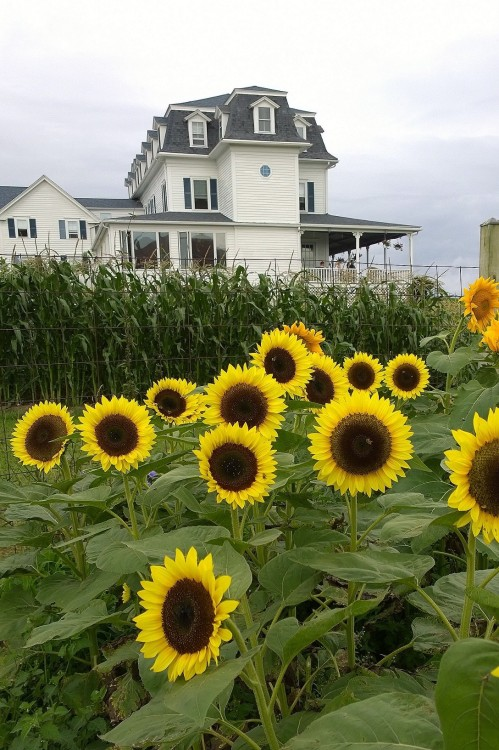 080517-never-enough-sunflowers-New-ShorehamRI