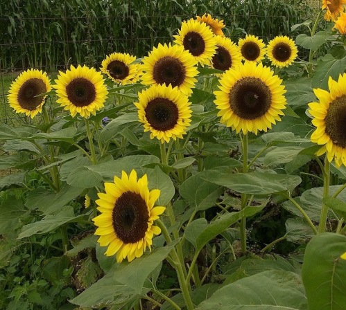 080517-never-enough-sunflowers