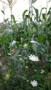 080517-QueenAnneLace-and-corn-tassels
