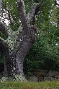 081217-lichen-on-tree-New-Shoreham