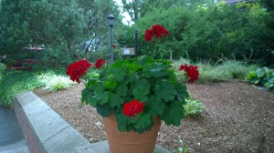 081517-red-geranium-rhode-island