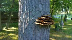 082417-graveyard-fungus