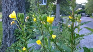 417-Narrowleaf-Evening-Primrose
