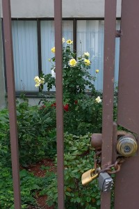 091617-imprisoned-roses-Lowell