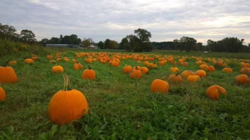 101117-Verrill-Farm-field-of-pumpkins