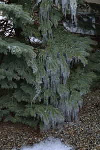011917-icicles-on-pine-tree