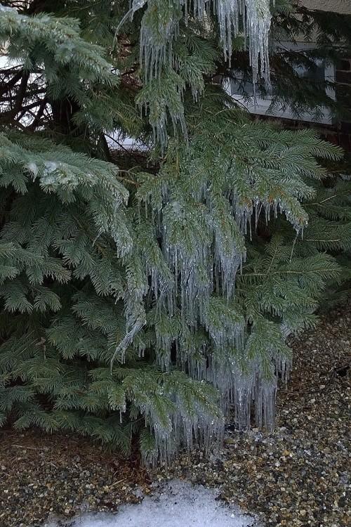011917-icicles-on-pine-tree