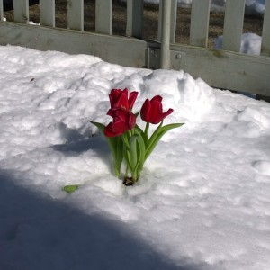 021818-6tag-store-tulips-planted-before-snowstorm