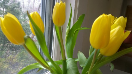 040418-yellow-tulips