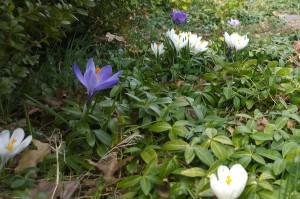 041218-crocus-blooming-before-storm