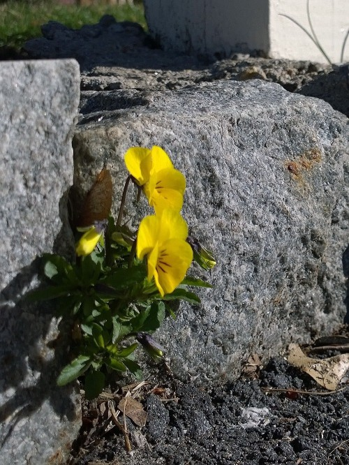 042218-pansies-in-wall