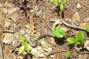 051318-garter-snake