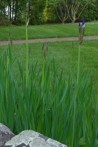051718-iris-in-waiting