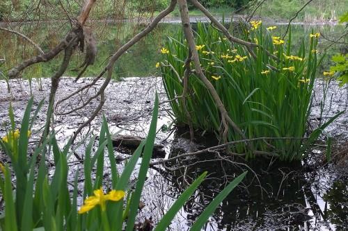 052818-yellow-iris-wetlands-Providence