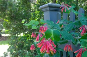 060618-honeysuckle-Concord-MA