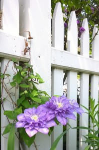 060718-clematis-Concord-MA