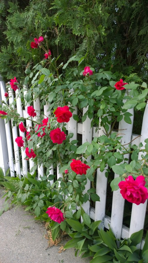 060718-roses-on-fence