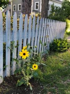 061418-sunflower-from-Allissa