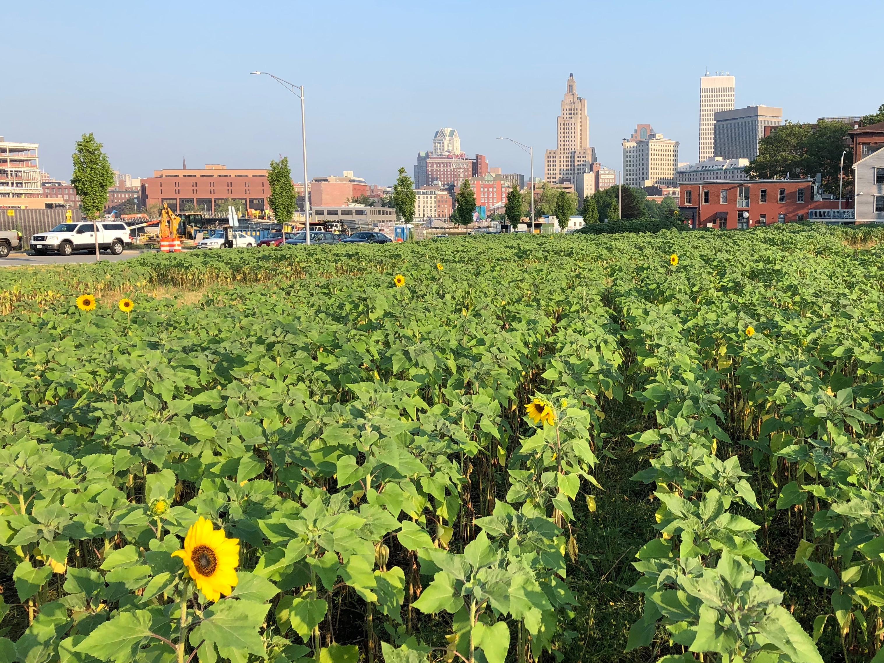 071618-sunflowers-improve-bad-soil