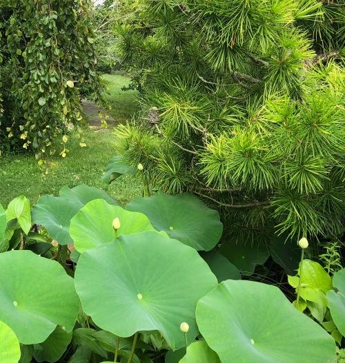 072718-lotus-buds