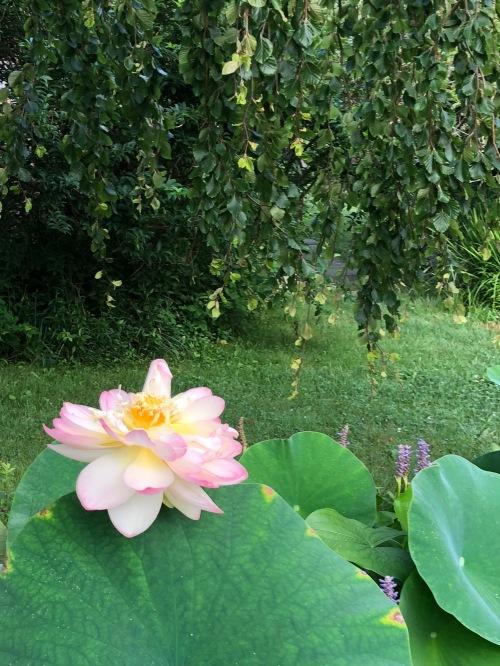 080418-windblown-lotus