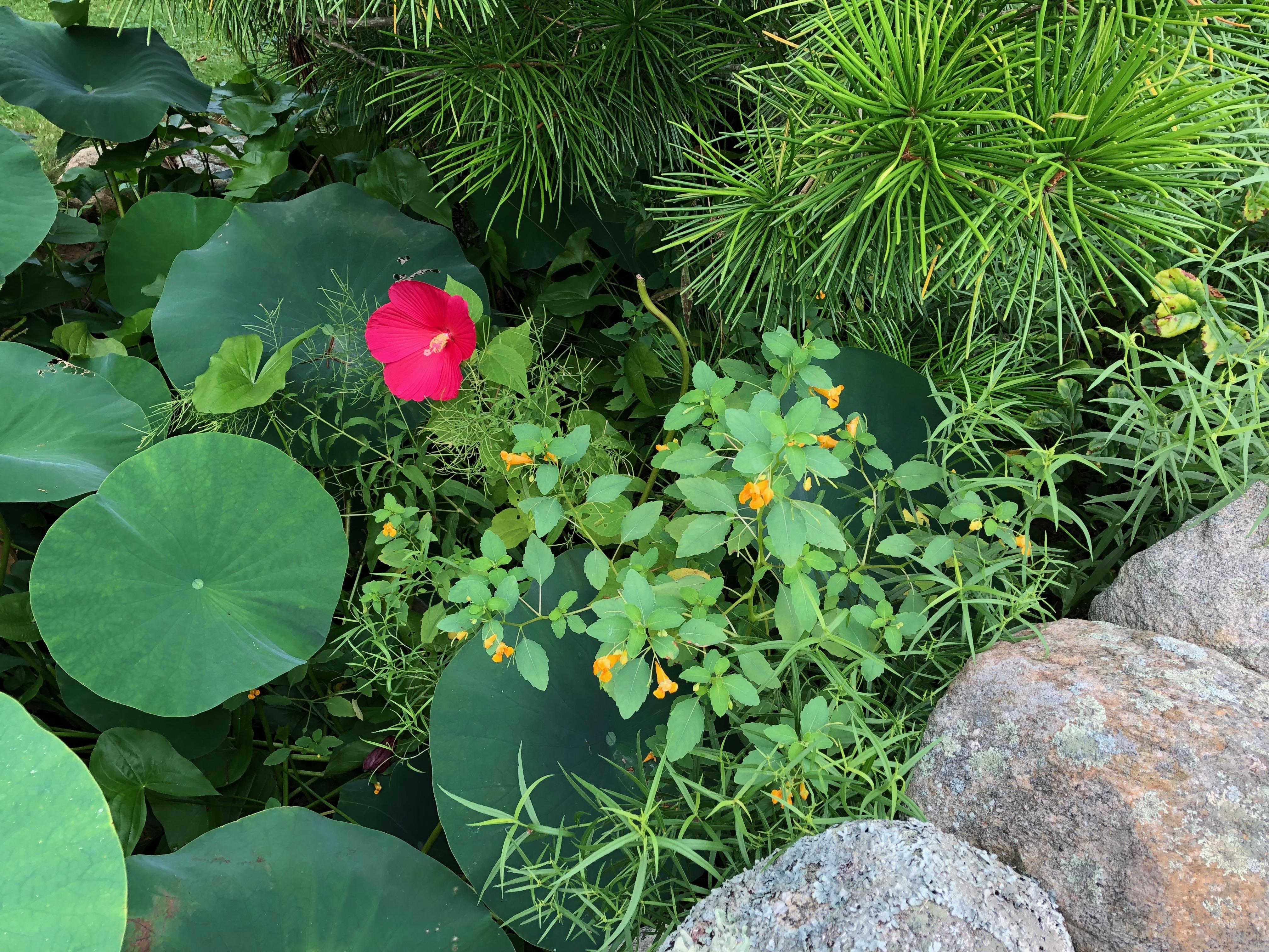 082318-hibiscus-I-believe