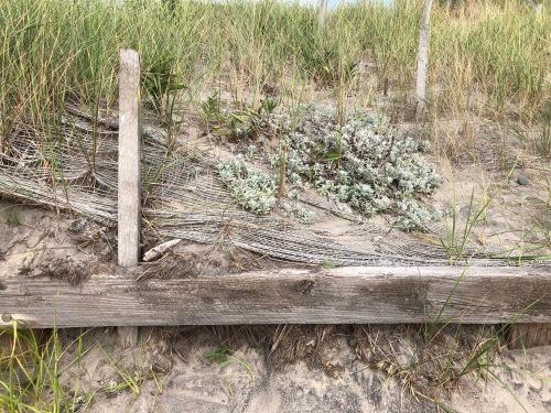083118-dusty-miller-at-beach