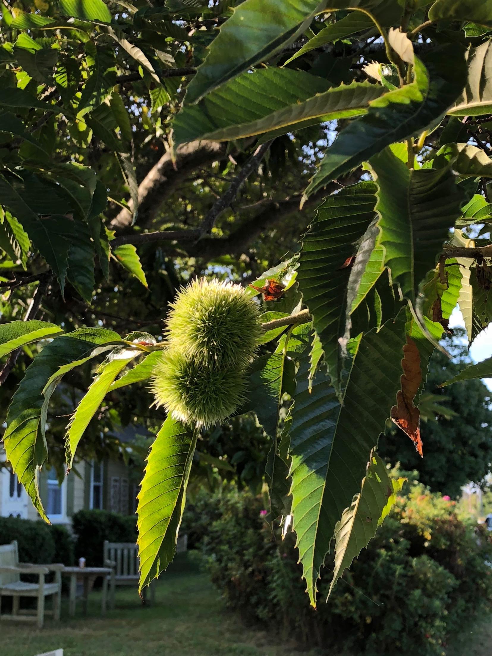 090218-fuzzy-horse-chestnut
